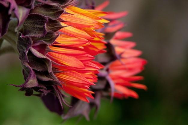 Sunflowers orange 3