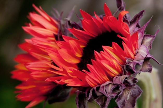 Sunflowers orange 5