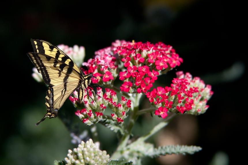 Swallowtail on Sedum