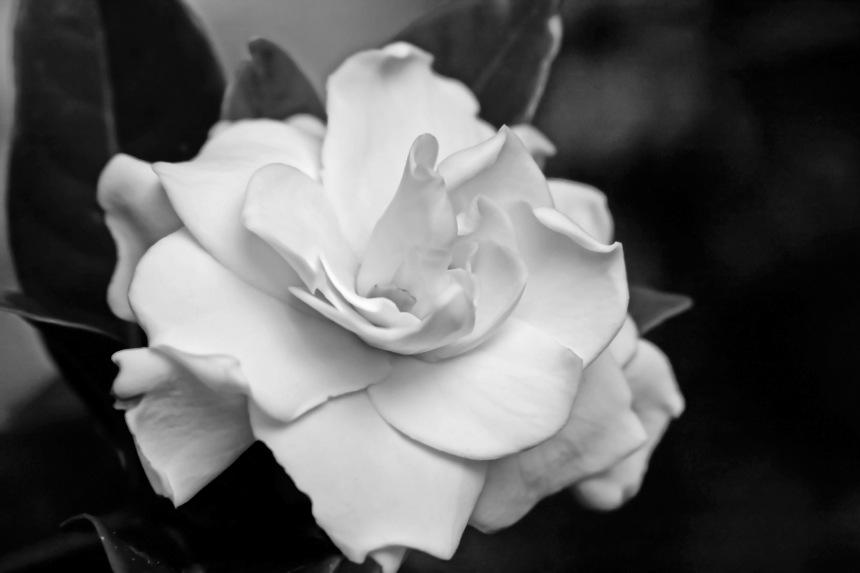 Gardenia single 2 bw