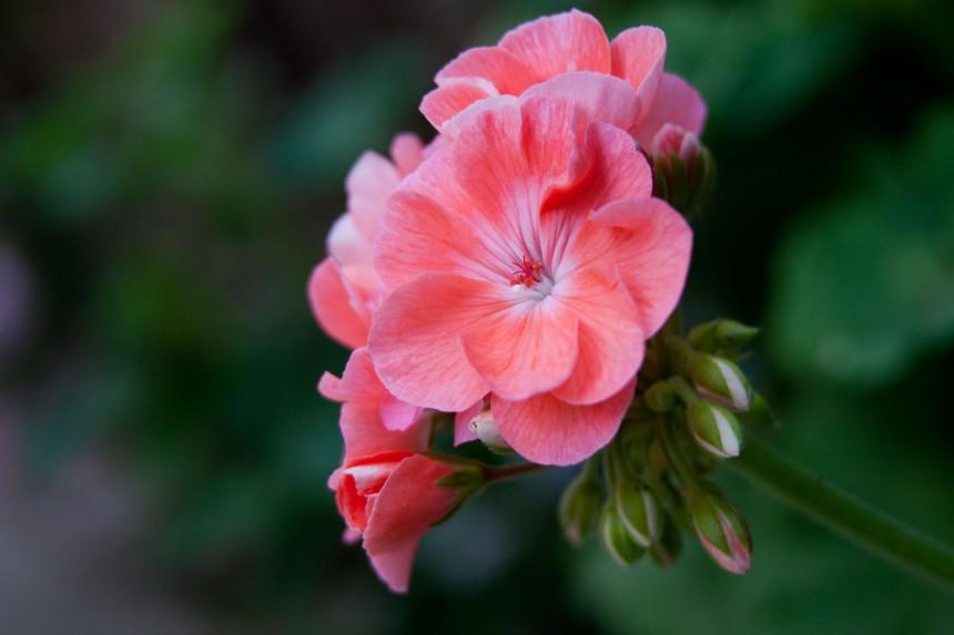 Geranium blooming