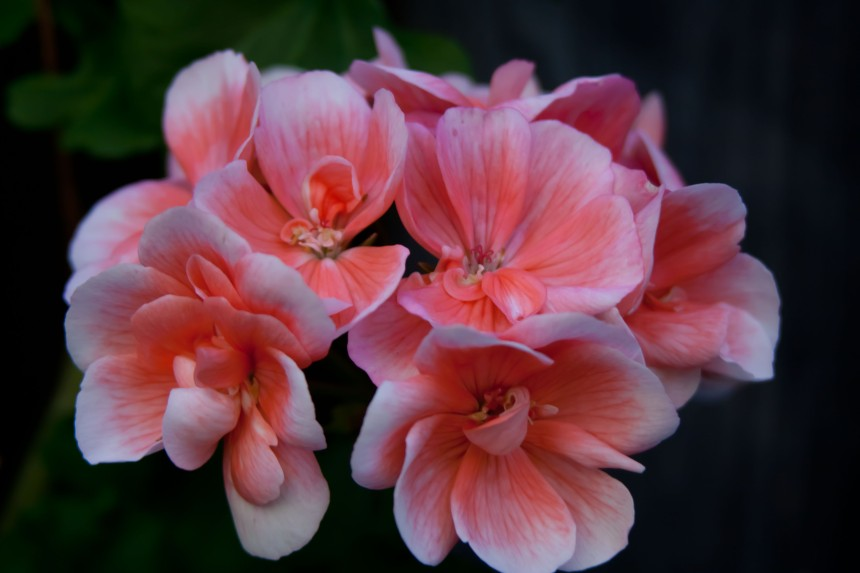 Geraniums pink 2