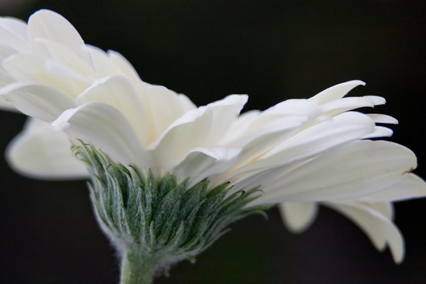 Gerbera white 5