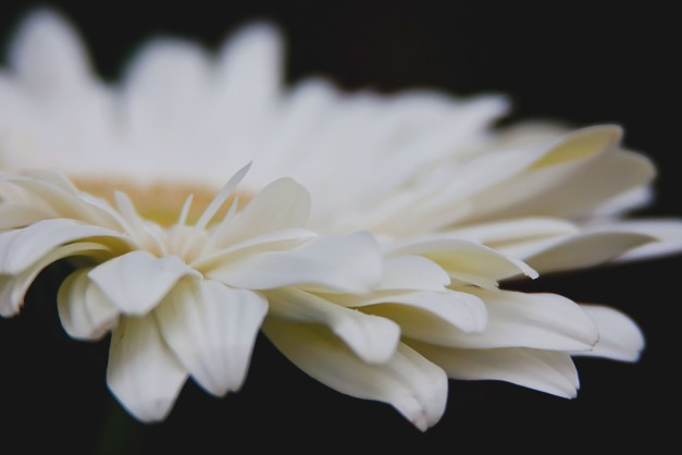 Gerbera white 6