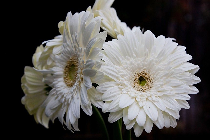 Gerbera white bunch