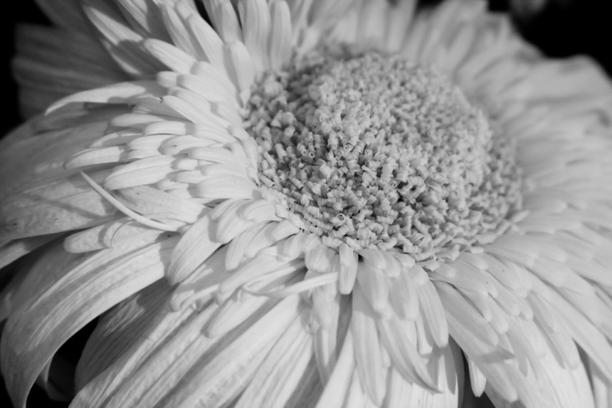 Gerbera white faded bw