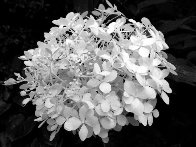 Hydrangea white bw