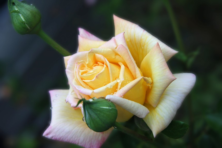 Rose yellow rain 2