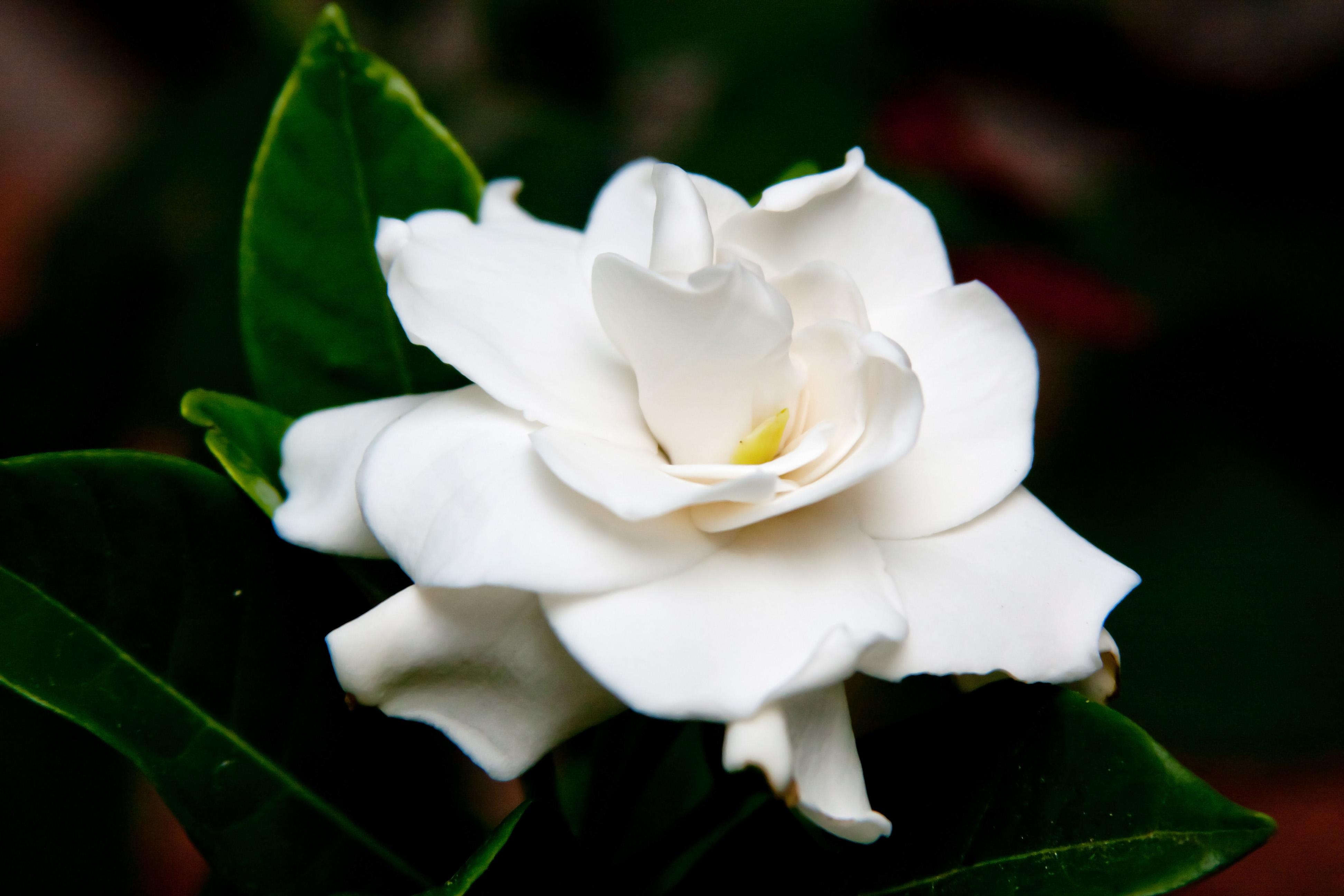 gardenia fables and flora