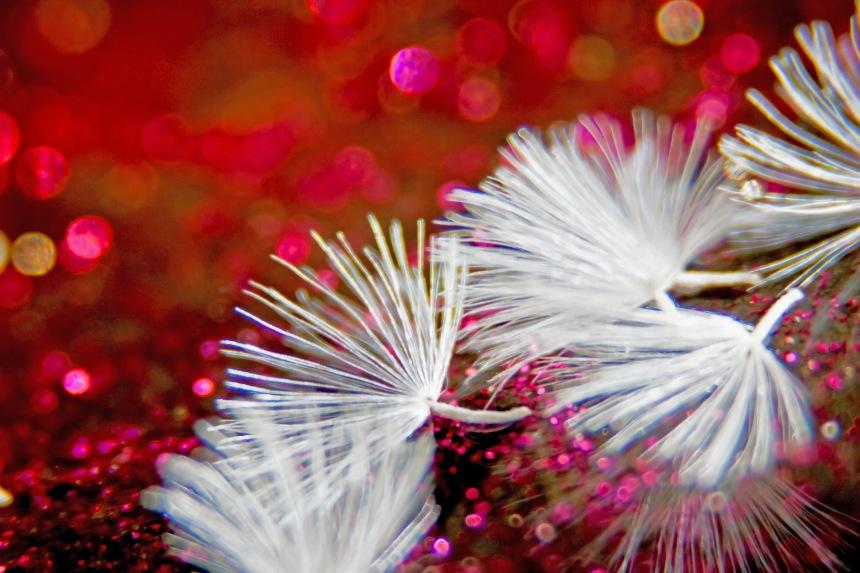 Seeds Gerbera