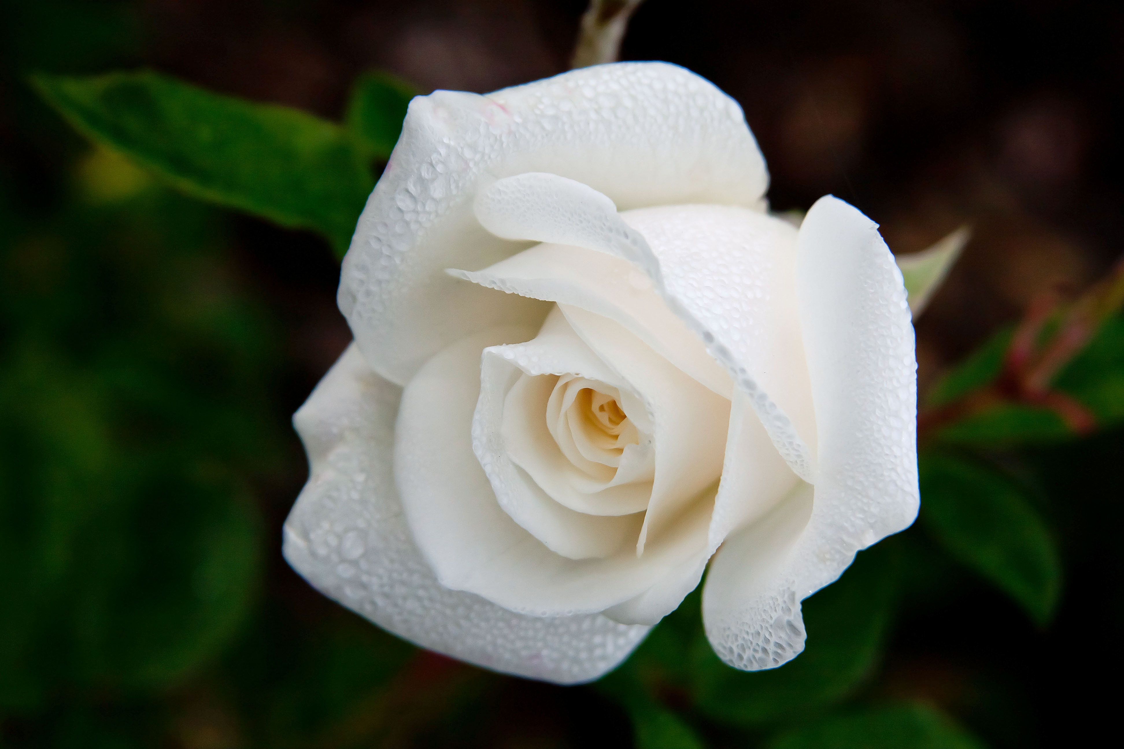 Raining On The Roses