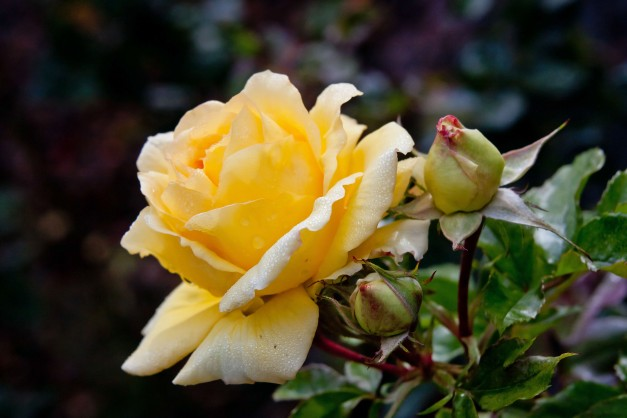 Rose yellow buds