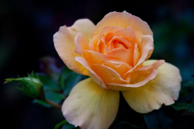 Rose yellow orange