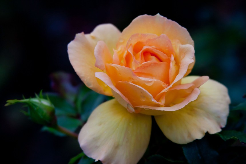 Rose yellow orange
