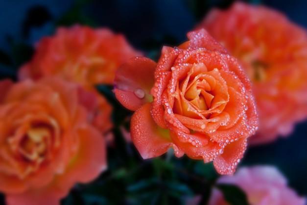 Roses orange cluster 2