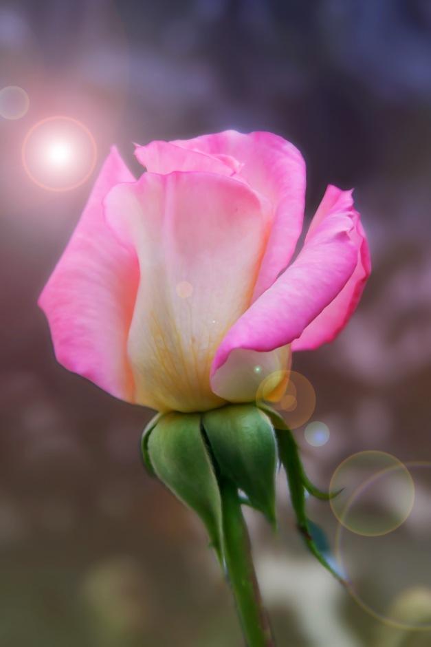 Rose pink flare