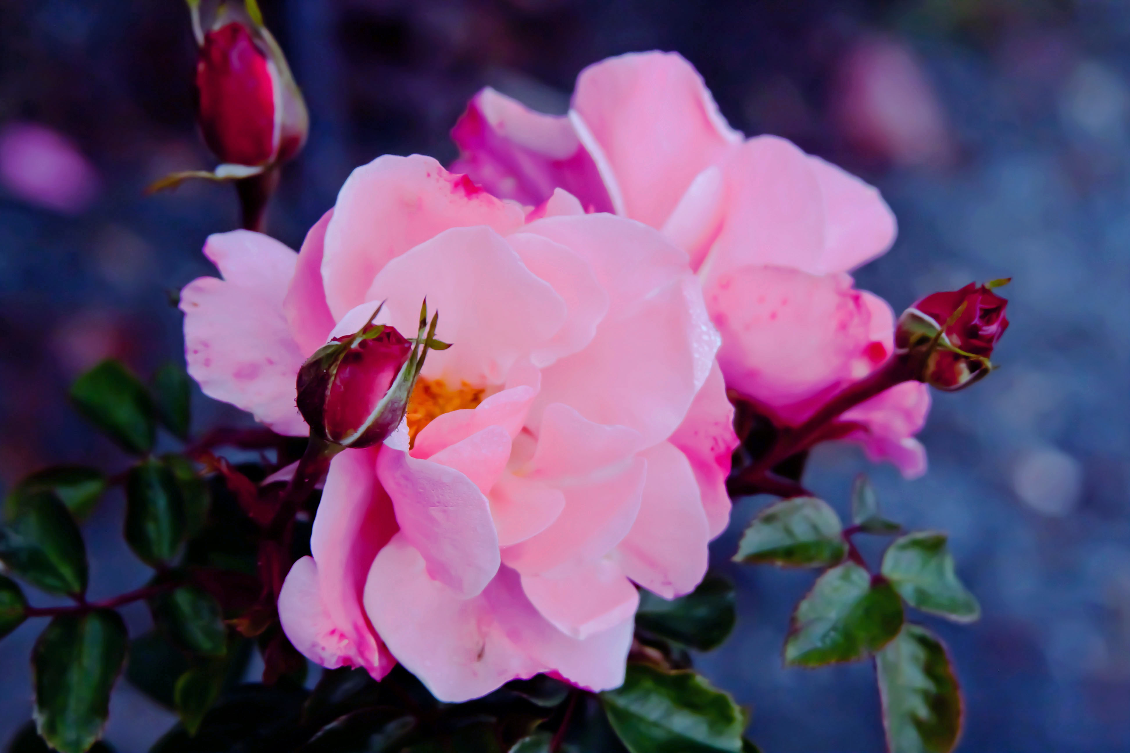 Blogging fables and flora - What are blue roses called ...