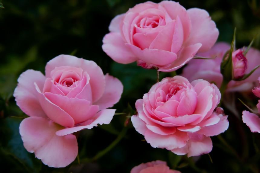 Roses pink trio