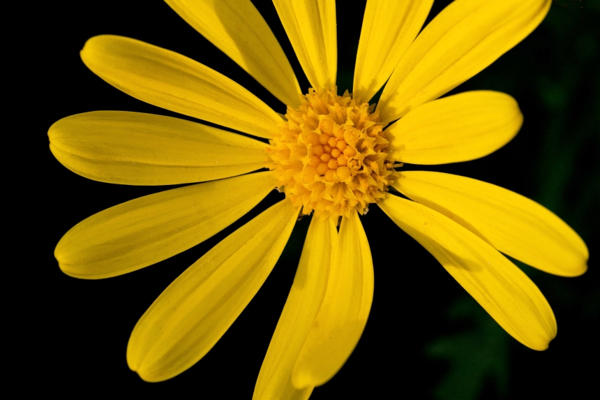Daisy yellow