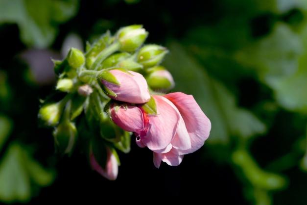 Geranium buds 2