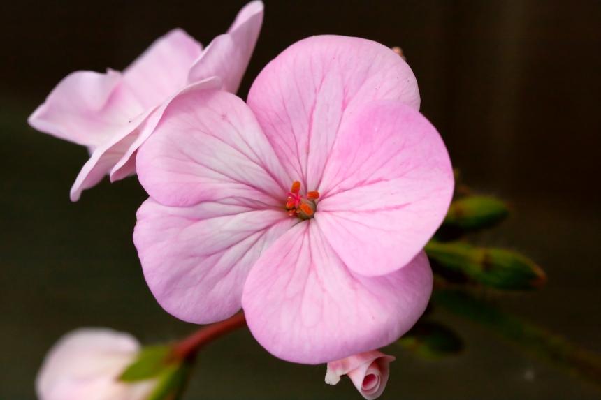 Geranium pale pink