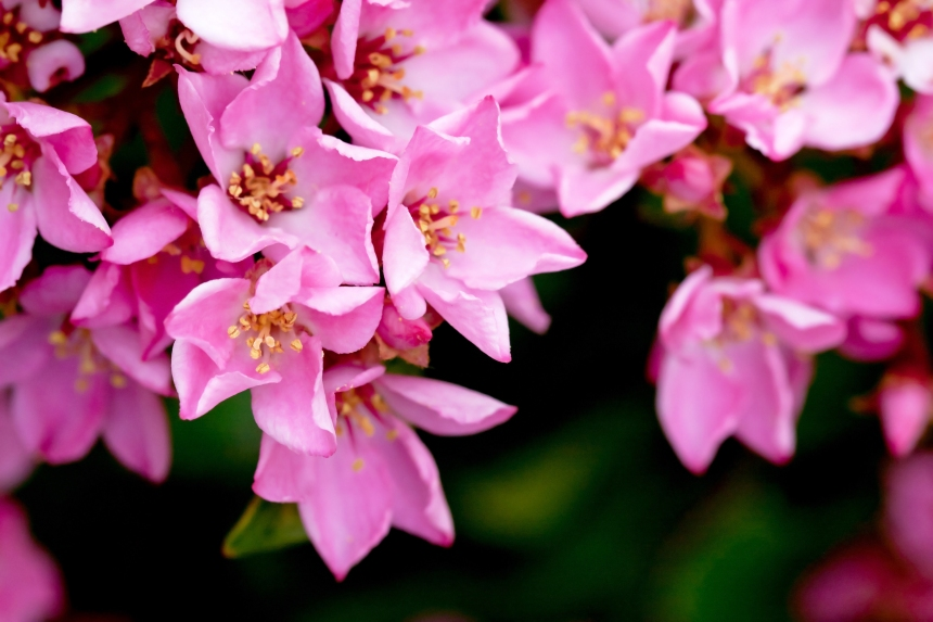 Hawthorn Pink