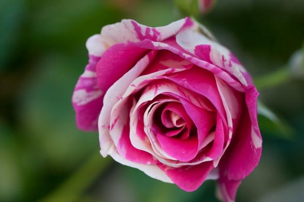 Rose vari 10
