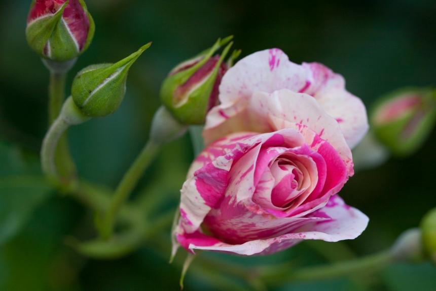 Rose vari 5