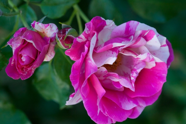 Rose vari 7