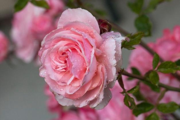Rose against roses 033