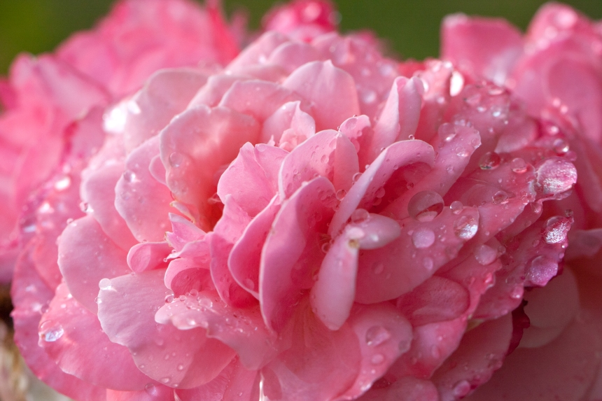 Ruffed wet pink rose 025