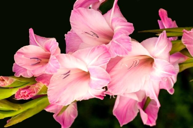 Gladioli pink_MG_2730