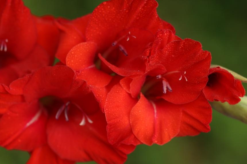 Red glad 026