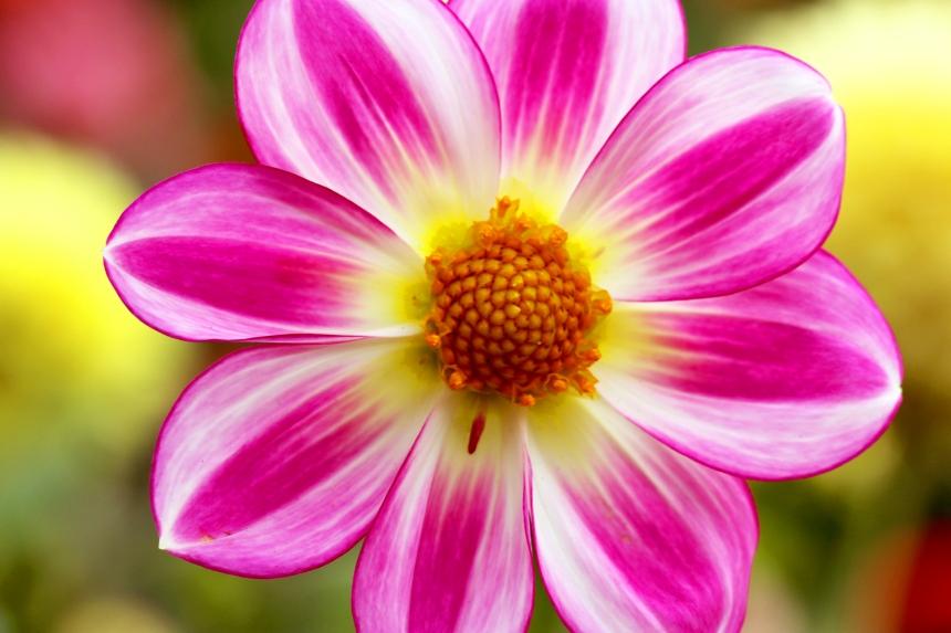 Dahlia pink white 485