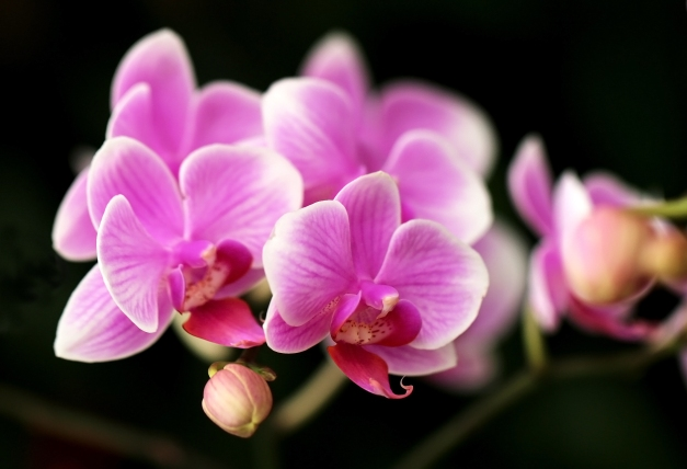 Orchid pink 417