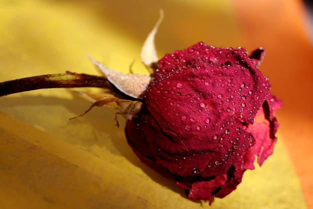 Vintage rose IMG_3310 - Copy