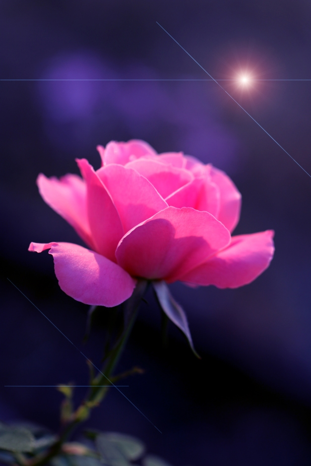 Pink rose flare IMG_3685