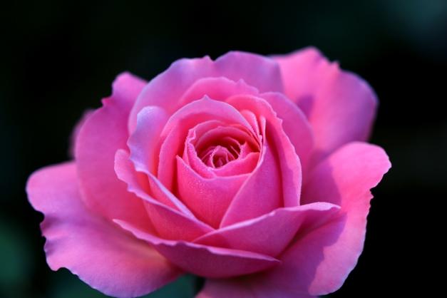 Pink Rose IMG_3663