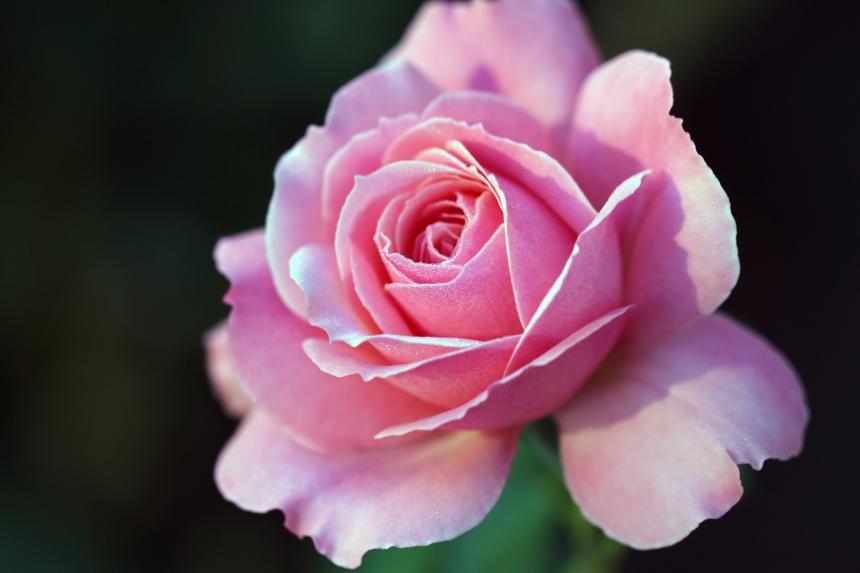 Pink Rose IMG_3664