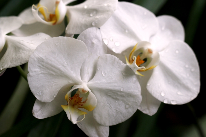 Orchids white 008