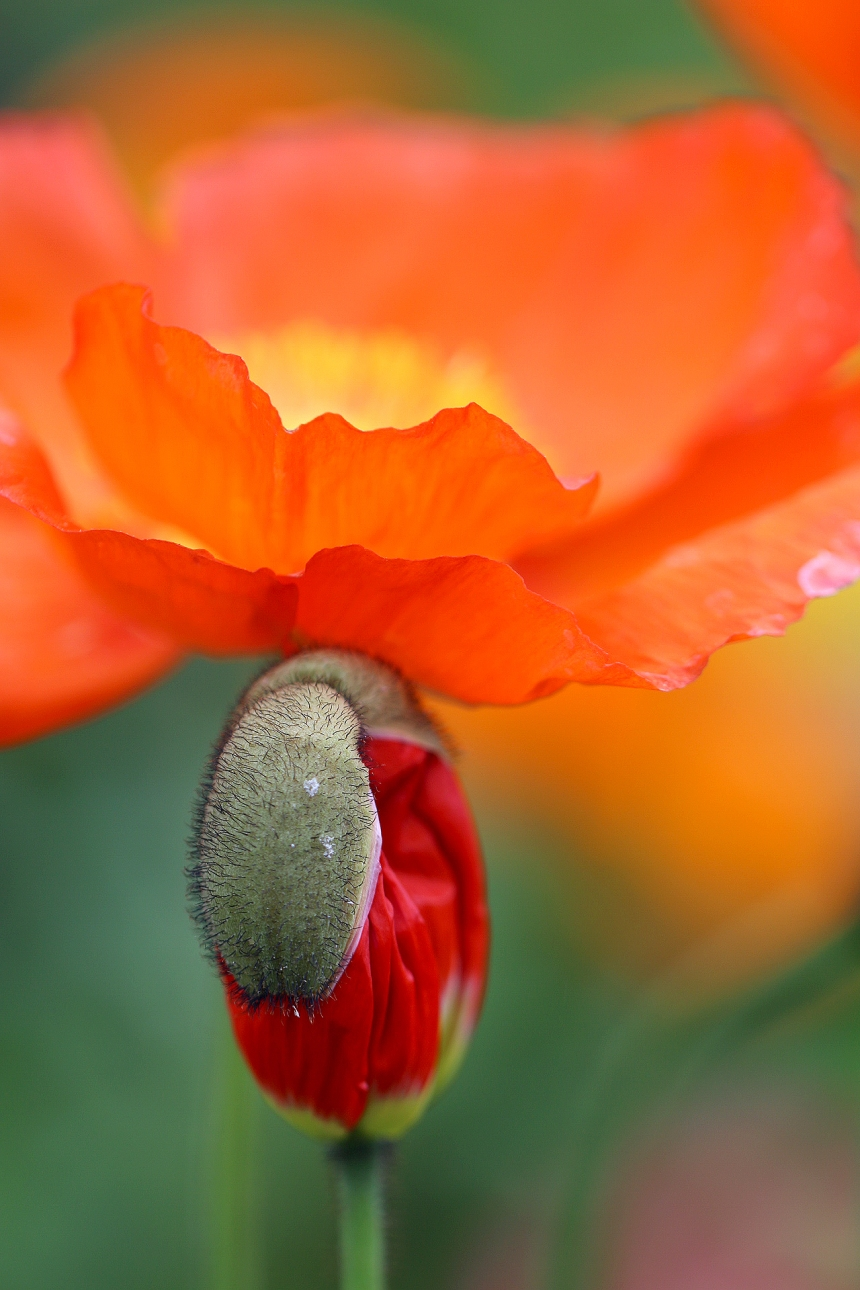 Poppy bud under bloom