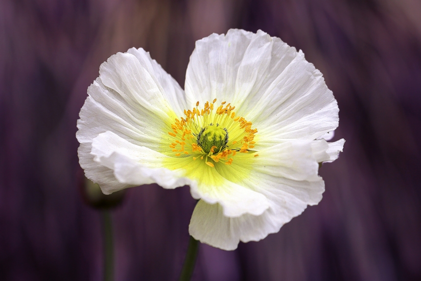 White Poppy on purple