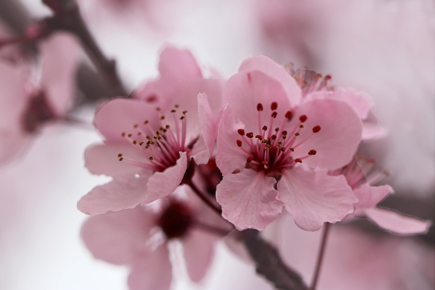 Blossoms pink 90