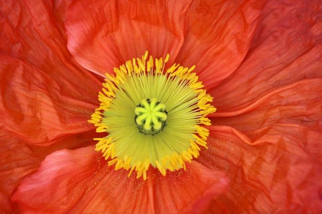 Poppy orange centre
