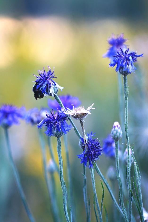 Bee on Cornflower2