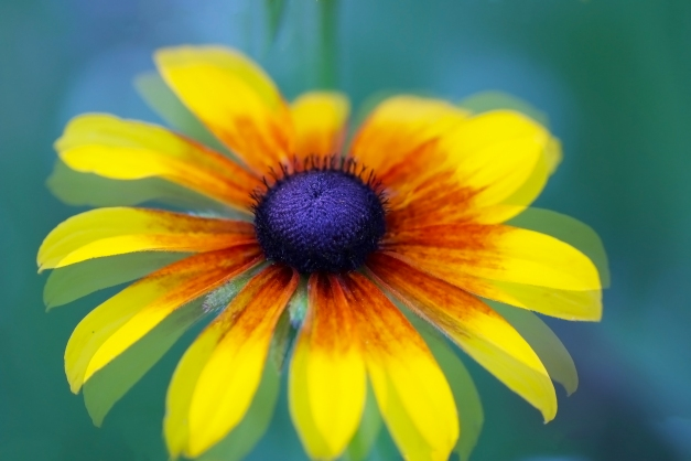 Black eyed susan single