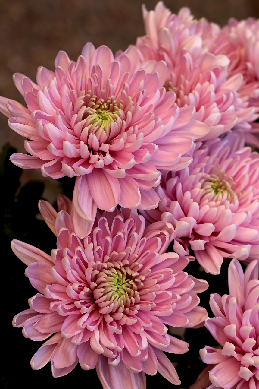 Chrysanthemum pink bunch 2