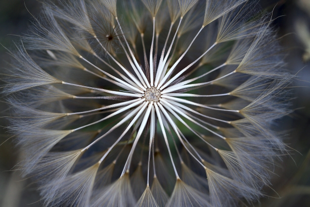 Dandelion head open