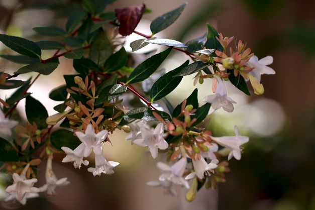 abelia-in-morning-light