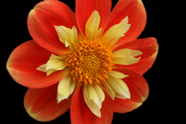 dahlia-orange-striking